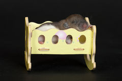 Healthy sleep. Very small young rat in the crib Stock Image