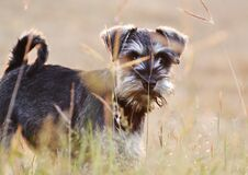 Soft cute Miniature Schnauzer puppy dog playing field long grass