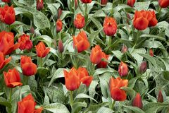 Very special red tulips on the field royalty free stock photo