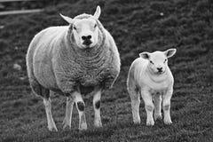 Herdwick lamb standing with its mum. Very stern looking herdwick lamb standing with its equally stern looking mum stock photography