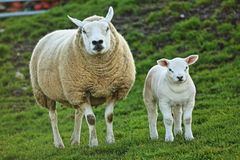 Herdwick lamb standing with its mum. Very stern looking herdwick lamb standing with its equally stern looking mum royalty free stock images