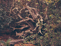 Very strange tree. In the heart of the forest Royalty Free Stock Images