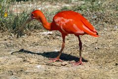 The Scarlet Ibis Eudocimus ruber royalty free stock photos