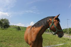 brown horse on paddock royalty free stock photography