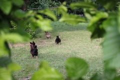 Chickens in garden. On a very sunny day in may in south germany you see chickens male and female in black and brown and grey color running around in green grass Royalty Free Stock Photography