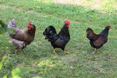 Chickens in garden. On a very sunny day in may in south germany you see chickens male and female in black and brown and grey color running around in green grass Stock Photography