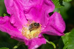 Hibiskus blossom with bee. On a very sunny day in may in south germany you see flower hibiskus with strong lightened color impression with bees nourishing for Royalty Free Stock Images