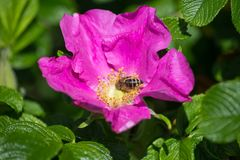 Hibiskus blossom with bee. On a very sunny day in may in south germany you see flower hibiskus with strong lightened color impression with bees nourishing for Stock Photos