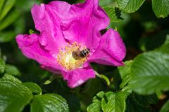 Hibiskus blossom with bee. On a very sunny day in may in south germany you see flower hibiskus with strong lightened color impression with bees nourishing for Royalty Free Stock Photo