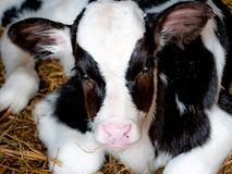 Very sweet little calf, born 5 days ago, black and white. In the barn with hay, seen in the foreground royalty free stock photo