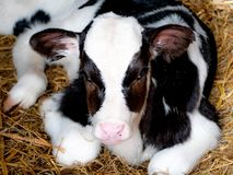 Very sweet little calf, born 5 days ago, black and white stock photos