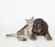 Very Sweet Puppy and Kitten royalty free stock photo
