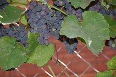 Very sweet grape in my garden royalty free stock image