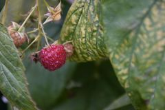 Very sweet raspberry in my garden stock photos