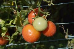 Very sweet tomatoes in my garden royalty free stock photo