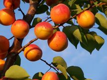 apricot ripe  Royalty Free Stock Images