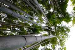 High bamboo forest Royalty Free Stock Photos