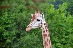 Very tall giraffe head photo Stock Image