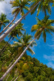 Very Tall Palm Trees by the beach and under bright Royalty Free Stock Image