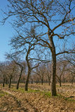Very tall plum trees in an orchard Stock Photography