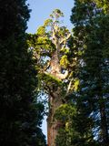 Sequoia tree. Very tall sequoia tree in the Sequoia National Park in California stock photography