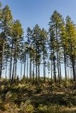 Very tall trees towering up above lush green undergrowth royalty free stock photos