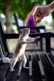 A very tame cute grey squirrel eats out of someones hand in a local Park Stock Photo