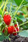 Very tasty berries Royalty Free Stock Image