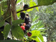 Very tasty blackberry. Turkey. garden in the mountains in Kemer. very tasty and beautiful blackberries are growing under the sun Stock Photos