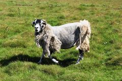 Very tatty sheep that has missed being sheared. Female sheep somewhere on a hillside in Cumbria that has missed being sheared and only has part of it's fleece royalty free stock images