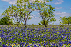 A Very Thick Blanket of Texas Bluebonnets in a Texas Country Meadow with Trees and Blue Skies. Royalty Free Stock Photo