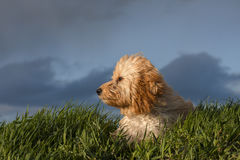 A very thoughtful puppy Royalty Free Stock Photography