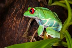 Very tight red-eyed tree frog. Chubby red-eyed tree frog sitting on a green plant royalty free stock photo