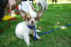 Very tiny chihuahua sitting on the grass Royalty Free Stock Image