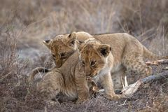Tiny cubs palying with each other. stock photography