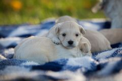 Cute little tan puppies snuggling on a blue and white checkered blanket. Very tiny tan puppies snuggling in a pile on a blue and white checkered blanket royalty free stock images