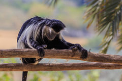 Very tired monkey resting during the heat of the day Stock Photos