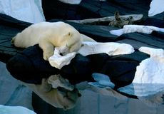A sleeping polar bear rests on a patch of snow and ice. stock images