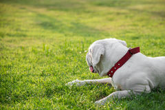 Very tired white dog lying on green grass Royalty Free Stock Image
