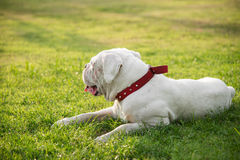 Very tired white dog lying on green grass Stock Photo