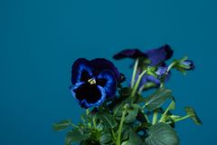 Violet pansy flowers on peacock blue, teal painted wall. Very trendy spring interior design colors in one picture - blue pansy flowers in peacock blue, teal Royalty Free Stock Images