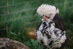 Very tufted hen. Very tufted chicken portrait in dark green background Royalty Free Stock Photos