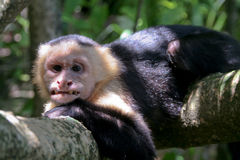 Very ugly old monkey. Old and ugly capucin monkey, but the chief of the tribe Royalty Free Stock Photography