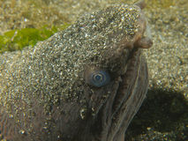 Very ugly snake eel Royalty Free Stock Photos
