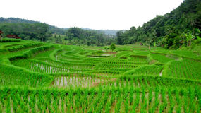 A very unique form of rice field. Form a very unique rice field, forming like terracing Stock Photography