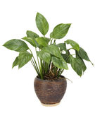 Very unpretentious simple indoor plant. Very unpretentious simple no name green houseplant grows in a ceramic pot eternally. Isolated on white Royalty Free Stock Photography