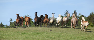 Very various barch of horses running on pasturage Stock Images