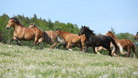Very various barch of horses running on pasturage Stock Photos