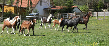 Very various batch of horses running on pasturage Royalty Free Stock Images