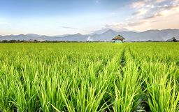 Very vast, broad, extensive, spacious rice field, streched into the horizon. And also hut in the middle of rice field.  Behind it is a line of hills and Stock Photos